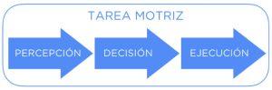 Cualquier tarea motriz se compone de tres fases o mecanismos inseparables, en el siguiente orden: percepción, decisión y ejecución.